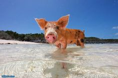 How Do Bahamians Live | Swimming Pigs in the crystal clear sea of the Bahamas