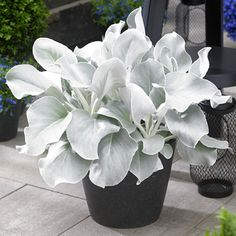 Senecio 'Angel Wings' (Senecio candicans) Eye-catching Senecio 'Angel Wings' has long, velvety leaves of silvery-white with scalloped leaf edges. This easy-to-grow succulent makes an attractive color contrast to the standard green foliage in t Unusual Plants, Rare Plants, Exotic Plants, Container Plants, Container Gardening, Succulent Containers, Container Flowers, Vegetable Gardening, Angel Plant