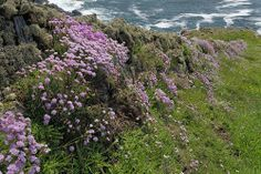 Sea Pinks or Thrift at Trevail, Nr. Zennor, Cornwall ...