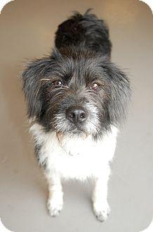 Adopt a Pet :: Cinderella - Smyrna, GA - Border Collie Mix