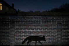 Shadow walker - Richard Peters/Wildlife Photographer of the Year 2015