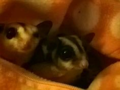Sugar Glider confused funny Boo haha lol SAY what?