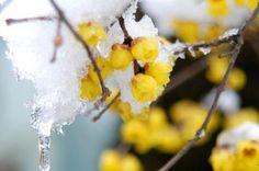 腊梅 Chimonanthus praecox