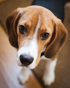 Our pet beagle........