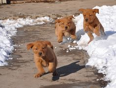 """Visit our website for even more information on """"labrador puppies"""". It is actually a superb location to get more information. Fox Red Labrador Puppy, Yellow Lab Puppies, Labrador Puppies, Labrador Retrievers, Retriever Puppies, Corgi Puppies, Silver Lab Puppies, Black Labrador, Animals Beautiful"""