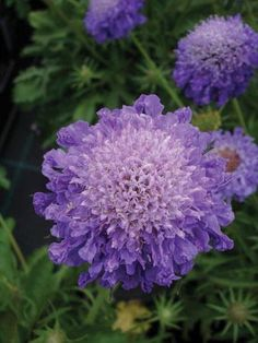 Scabiosa 'Blue Haze' is a lovely, large-flowered, rich mauve form of the pin cushion flower.    Scabious are classic British garden plants and are invaluable for their hugely long flowering season, good vase life and the bonus that the bees and butterflies love them.
