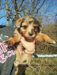 We have 8 week old Aussies for sale!! We are located in East Texas. We have red merles, blue merles, and red tris!