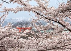 Sakura (cherry blossoms) are associated with spring in Japan. The Japanese typically celebrate this season by ...