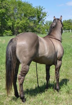 Grulla quarter horse stallion Kansas City Twister. He is homozygous black and he carries the cream gene. No red foals. For the description, he could be EEaacrD