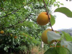 apricot. enhanced strain[variety]