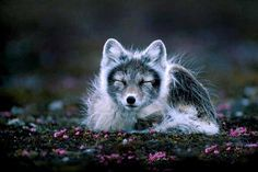 Artic fox native to Iceland
