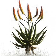 'Aloe 3  - Colour' Canvas Print 550mm x 830mm Normal Price: R1250 SALE PRICE: R1000 Order online - Delivery is FREE to anywhere in South Africa!