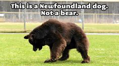 The glorious Newfoundland dog…I want one!! #newchristmaspresent hint hint (;
