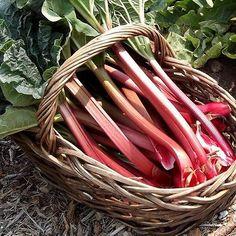 25+ Rhubarb Victoria Vegetable Seeds , Under The Sun Seeds