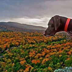 Some people anxiously await the turn of fall a little more than others! Thanks to @bella.and.lily for sharing this shot of a Pure Michigan pup exploring the Porcupine Mountains landscape in the Upper Peninsula. #PureMichigan #PorcupineMountains #DogsOfInstagram