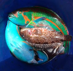 Looking down into the bucket of fish after fishing at Pitcairn Island Photo courtesy of Bill Lambie. Pitcairn Islands, Beautiful Fish, Fishing, Bucket, Animals, Animales, Animaux, Animal, Animais