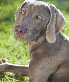 WEIMARANERS BECAME POPULAR IN AMERICA DURING WORLD WAR II A Rhode Island hunter named Howard Knight was the first to import Weimaraners to the United States from Germany in 1929, but the breed didn't catch on Stateside until World War II. Many American soldiers returning home from the war brought Weimaraners with them, impressed with the breed's athletic skill and loyalty. The breed's popularity peaked in America around this time, but after leveling off somewhat, has remained steady in the…