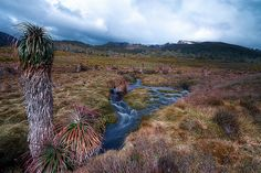 Prehistoric plants: Cold stream flowing between Pandanus trees, Cradle Mountain, Tasmania | Flickr - Photo Sharing!