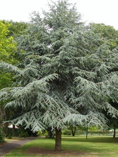 Blue Atlas Cedar/Cedar Sprice (Cedrus atlantica) More Trees And Shrubs, Trees To Plant, Blue Atlas Cedar, Cedrus Deodara, Spruce Tree, Cedar Trees, Fire Pit Backyard, Winter Garden, Backyard Landscaping