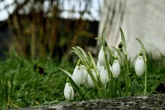 I love it when I see my first snowdrops of each year it tells me that spring is near.