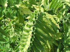 """Henbane fruits - Hyoscyamus niger - Wikipedia, the free encyclopedia Henbane was historically used in combination with other plants, such as mandrake, deadly nightshade, and datura as an anaesthetic potion, as well as for its psychoactive properties in """"magic brews"""""""