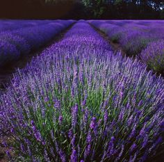 Norfolk Lavender fields at dusk. Memories of my childhood, driving past glorious fields of Lavender.