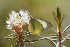 Suoperhoset | Etelä-Karjalan Allergia- ja Ympäristöinstituutti