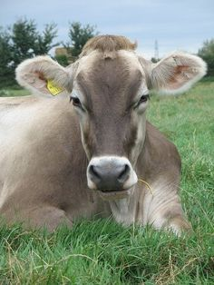 Brown Swiss cattle can be grey, dark brown, tan or even almost white in color. Their hooves, muzzle and switch are usually black. They are often noted for their big floppy ears and docile temperament.