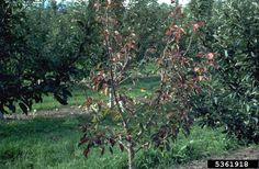 One of the more dangerous diseases of apple trees is collar rot. Collar rot of apple trees is responsible for the death of many of our favorite fruit trees across the nation. What is collar rot? To learn more, this article will help.