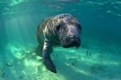 The West Indian manatee living in Florida are protected under federal law by the Marine Mammal Protection Act of 1972 and the Endangered Species Act of 1973, as well as the Florida Manatee Sanctuary Act of 1978. Manatees grow to as large as 1,200 lbs and can live as long as 60 years.... I'm not saying I swam with them a couple times... but it was awesome!