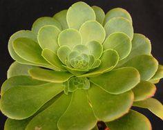Aeonium magnificum