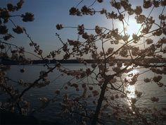 Cherry BlossomsDC20_MQ2013