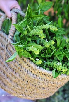 Basil Pesto Recipe my basil goes crazy every summer, I did this last year! Spices And Herbs, Fresh Herbs, Herb Garden, Vegetable Garden, Garden Basket, Basil Pesto Recipes, Herbs Indoors, Fresh Basil, Basil Tea