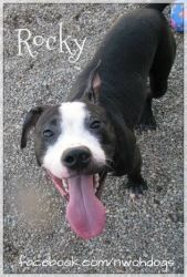 Rocky is an adoptable Pit Bull Terrier Dog in Toledo, OH. Hello my name is Rocky, I am a 2 yr old handsome hunk pitbull mix. I am a friendly, playful and social boy. Rocky loves toys! If you have toys...