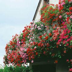 h ngegeranien sichern eine ausgelassene sch nheit im garten geranien pflanzen pflanzen und. Black Bedroom Furniture Sets. Home Design Ideas
