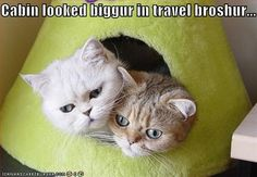 Persian cat with multiple eye colors, Nice capture Persian Kitty's in a box Excellent snap of two persian cats playing I Love Cats, Crazy Cats, Cool Cats, Cute Kittens, Cats And Kittens, Happy Animals, Cute Animals, Curious Cat, Cat Behavior
