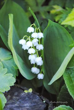 Skogland: Lily of the Valley