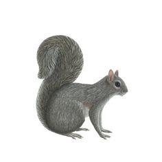 Wild Life Animals Realistic Squirrel - Wall Sticker, Mural, & Decal Designs at Wall Sticker Outlet Nursery Wall Stickers, Wall Stickers Murals, Wall Murals, Decals, Wallpaper Stickers, Woodland Creatures, Squirrel, Garden Sculpture, Original Artwork