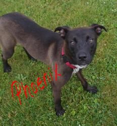 URGENT!!!PHOENIX>>>OHIO>>535//Phoenix//6 is an adoptable Labrador Retriever Dog in Youngstown, OH. CONTACT: stoohey@mahoningcountyoh.gov � Available: �6/29 All dogs are spayed/neutered before you bring them home. $80 to the v...