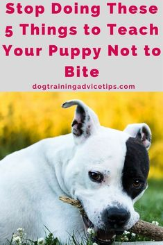 Stop Doing These 5 Things to Teach Your Puppy Not to Bite | Dog Training Tips | Dog Obedience Training | Dog Training Commands | Stop Dog Biting | Dog Biting Prevention | http://www.dogtrainingadvicetips.com/stop-doing-these-5-things-to-teach-your-puppy-n