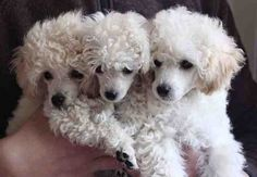 How could it get any cuter than a poodle??  3 poodles..triple the cuteness factor!!  LOVE IT!!  They are truly precious! ❤❤
