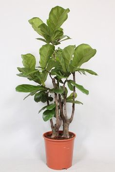 Ficus Lyrata Vertakt - Tabaksplant