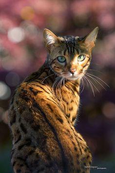 © Andreas Krappweis Bengal cat