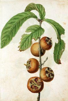 Medlar ( circa 1563) by Jacques Le Moyne.    V & A. Museum    Source - Artfinder.com