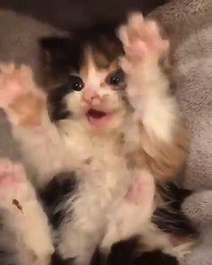 Kitten Happy Kitten loves to play!Happy Kitten Happy Kitten loves to play! Cute Baby Cats, Cute Cats And Kittens, Cute Little Animals, Cute Funny Animals, Kittens Cutest, Kittens Playing, Kitty Cats, Ragdoll Kittens, Tabby Cats