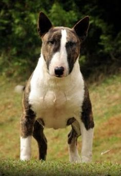 BULL TERRIER dogs with attitude,  the most interesting pet you will ever have!!! Never a dull moment.