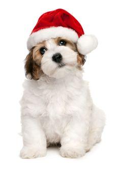 Cute Christmas havanese puppy dog