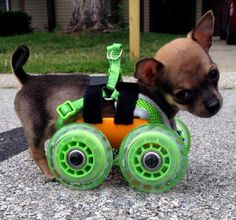 TurboRoo, a chihuahua born without its front legs, was given a 3D printed cart made by San Diego firm 3dyn so he could train to be a service dog for disabled children.