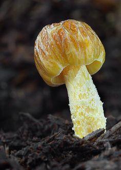 Nahuby.sk - Fotografia - hnojovec Bolbitius titubans var. olivaceus (Gillet) Arnolds