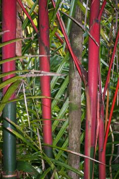 Red Bamboo Hilo Botanical Gardens.